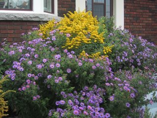 (goldenrod and new england asters)