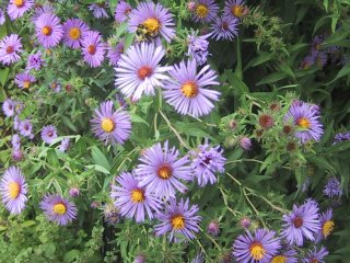 (New England Asters)