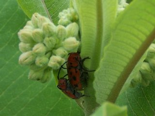 (Milkweed beetles)