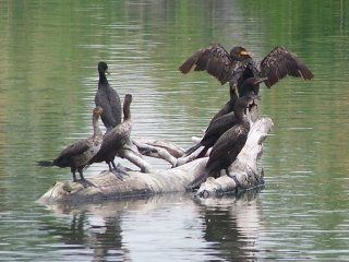 (Double crested cormorants)