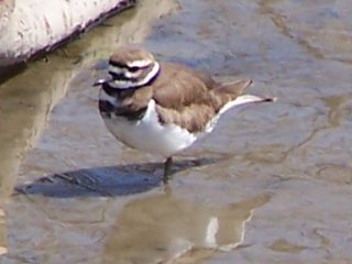 (killdeer)