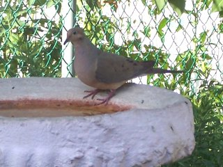 (mourning dove)