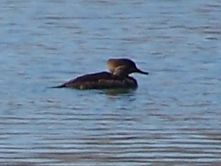 (Hooded Merganser)