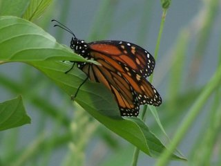 (Monarch Butterfly)