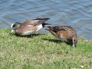 (widgeon)